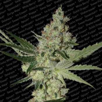 Acid - Paradise Seeds - Seed Banks
