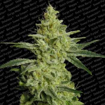 ALLKUSH - Paradise Seeds - Seed Banks