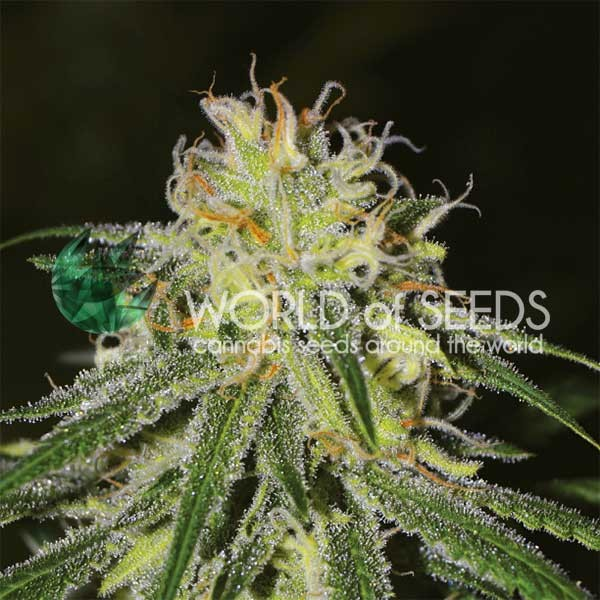 Amnesia - World of Seeds - Seed Banks