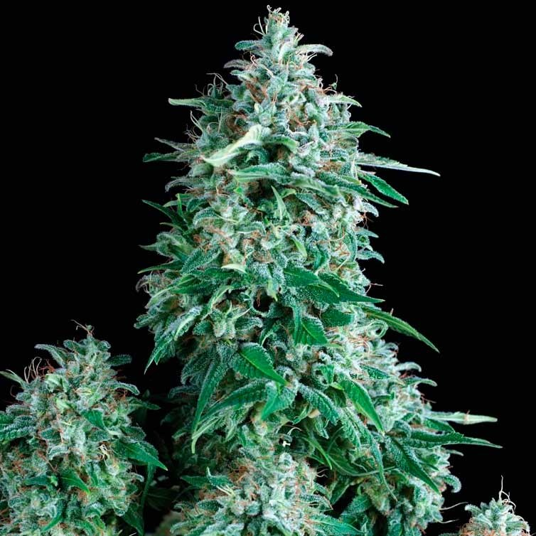 ANUBIS - Pyramid Seeds - Seed Banks