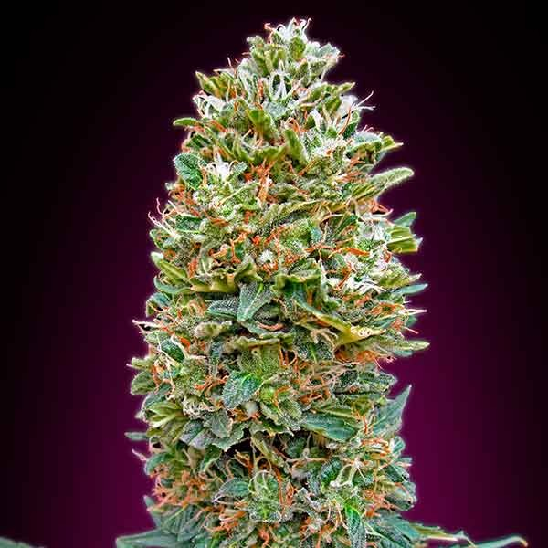 Auto Bubble Gum - 5 seeds - 00 Seeds - Seed Banks