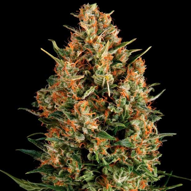 AUTO WEMBLEY - Pyramid Seeds - Seed Banks