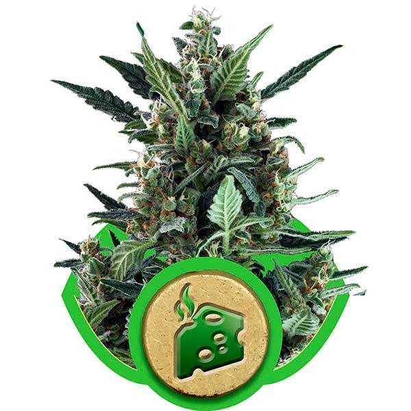Blue Cheese Automatic - Royal Queen Seeds - Seed Banks
