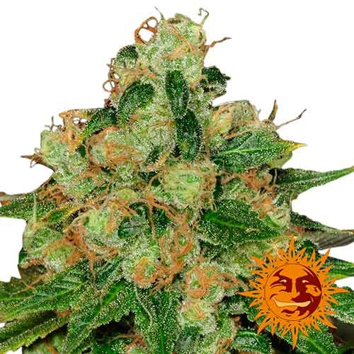 CBD CARAMEL REGULAR - 10 seeds - Barney's Farm - Seed Banks