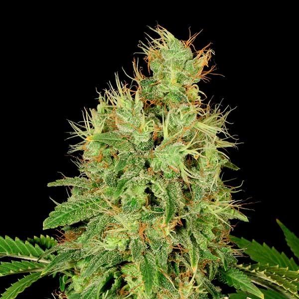 CBD-Chronic - Serious Seeds - Seed Banks