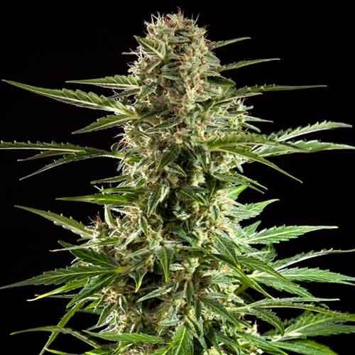 Cheesy Auto CBD - Philosopher Seeds - Seed Banks