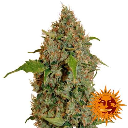 CHRONIC THUNDER - Barney's Farm - Seed Banks