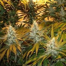 Chunky Cheeze - 5 seeds - Sagarmatha - Seed Banks
