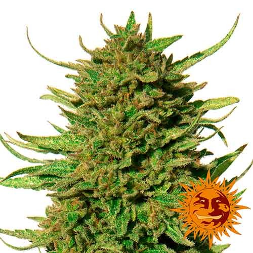 CRITICAL KUSH REGULAR - 10 seeds - Barney's Farm - Seed Banks