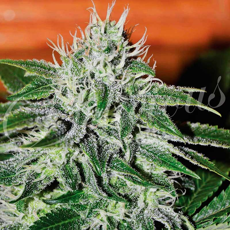Critical Jack Herer - Delicious Seeds - Seed Banks
