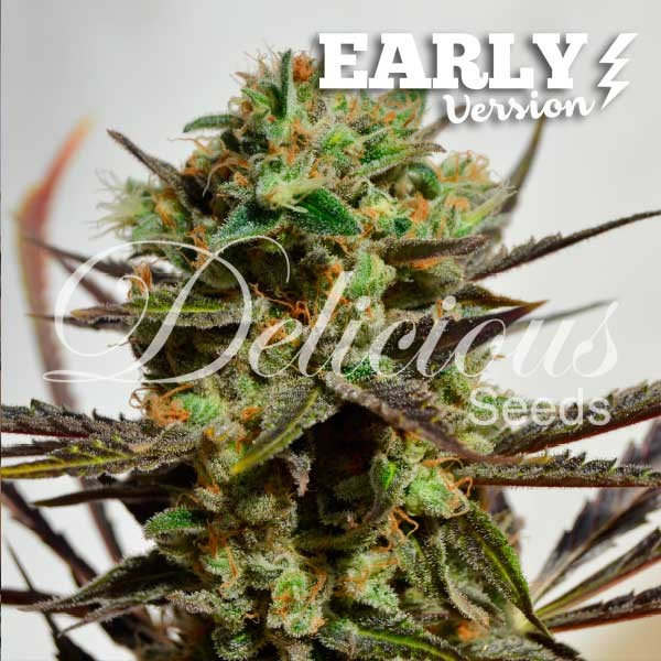 Delicious Candy Early Version - Delicious Seeds - Seed Banks