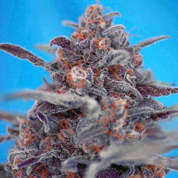 DEVIL CREAM AUTO - Sweet Seeds - Seed Banks