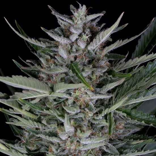 Gorilla Autoflowering - Dinafem - Seed Banks