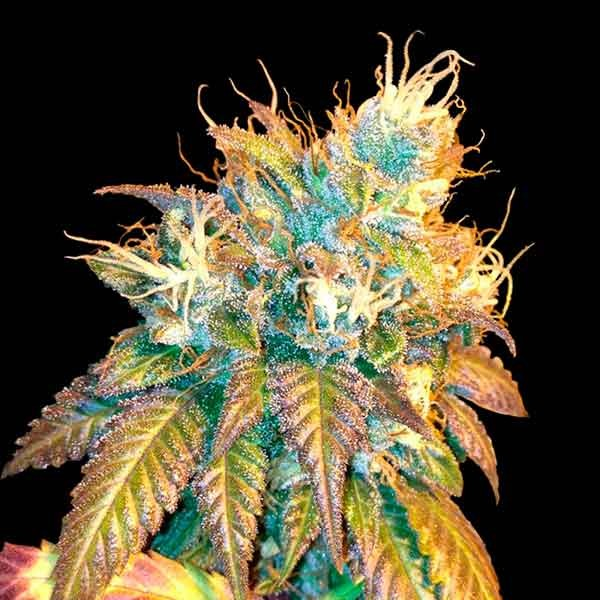 Sour Secret - DNA genetics - Seed Banks
