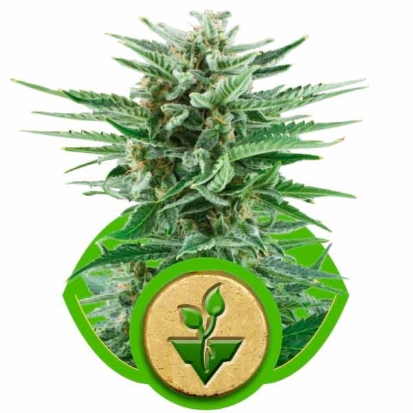 EASY BUD AUTO - Royal Queen Seeds - Seed Banks