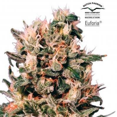 EUFORIA REG - Dutch Passion - Seed Banks