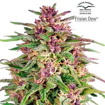 FRISIAN DEW - Dutch Passion - Seed Banks