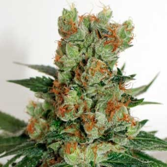 FUEL OG - Ripper Seeds - Seed Banks