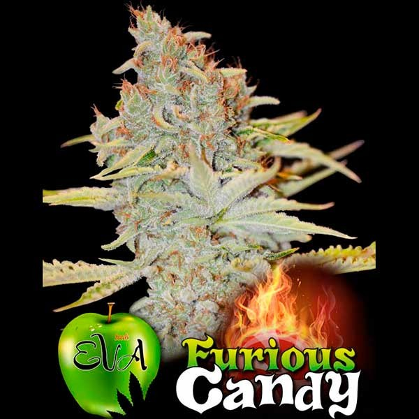 FURIOUS CANDY - Eva Seeds - Seed Banks