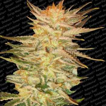 ICE CREAM - Paradise Seeds - Seed Banks