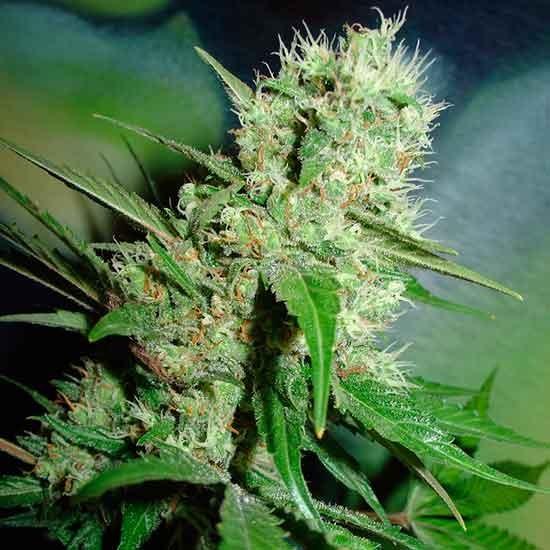 Jack Herer - 5 seeds - Fantaseeds - Seed Banks