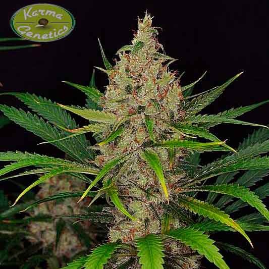 Road Dawg - 6 seeds - Karma Genetics - Seed Banks