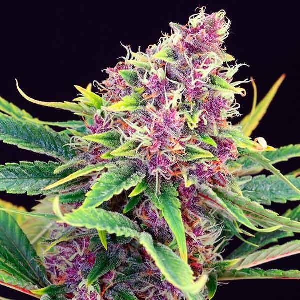 Purple Kush - Kannabia - Seed Banks