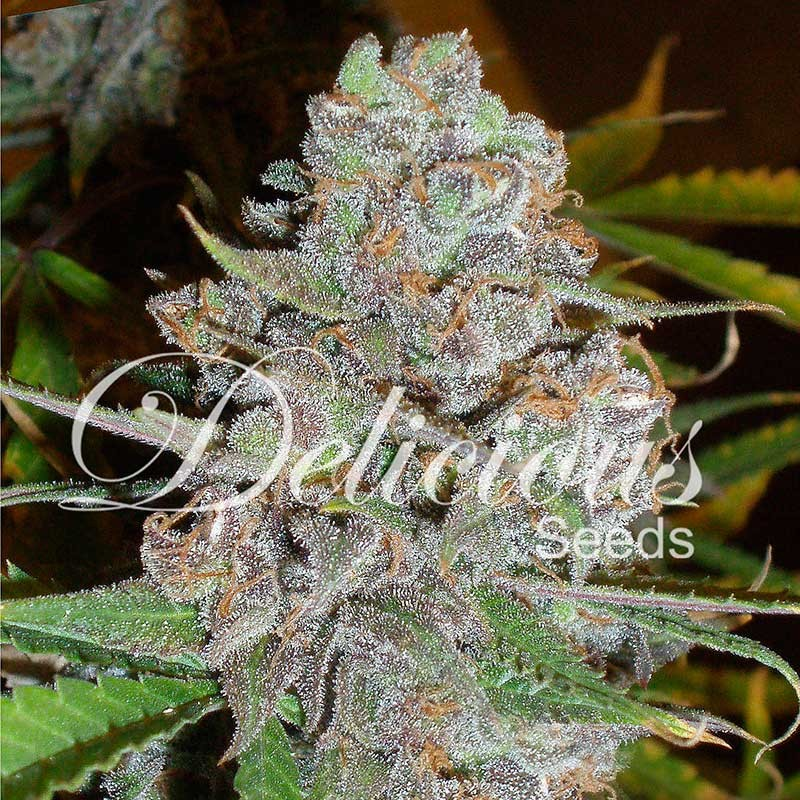 La diva - Delicious Seeds - Seed Banks