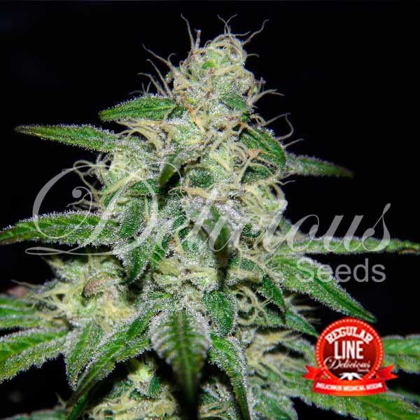 Marmalate Regular - Delicious Seeds - Seed Banks
