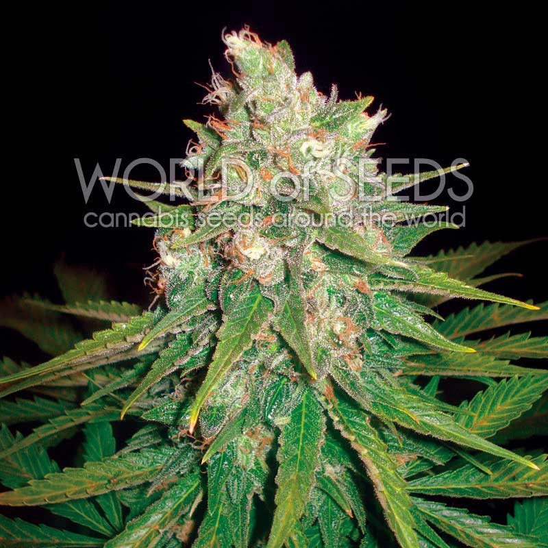 Mazar x Great White Shark - World of Seeds - Seed Banks