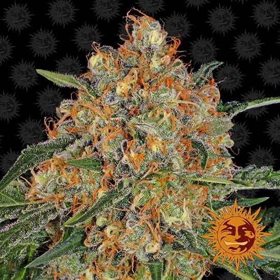 ORANGE SHERBERT - Barney's Farm - Seed Banks