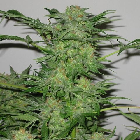 Orange Sorbet - 6 Seeds - Karma Genetics - Seed Banks