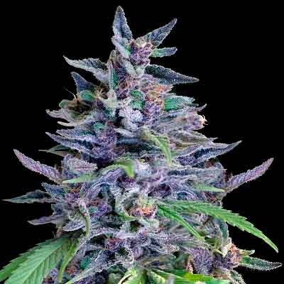 Orient Express  - Ace Seeds - Seed Banks