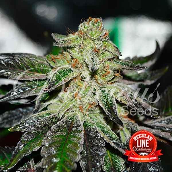 Original Juan Herer Regular - Delicious Seeds - Seed Banks