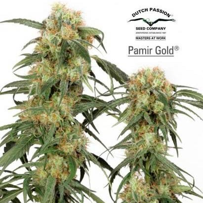 PAMIR GOLD - Dutch Passion - Seed Banks