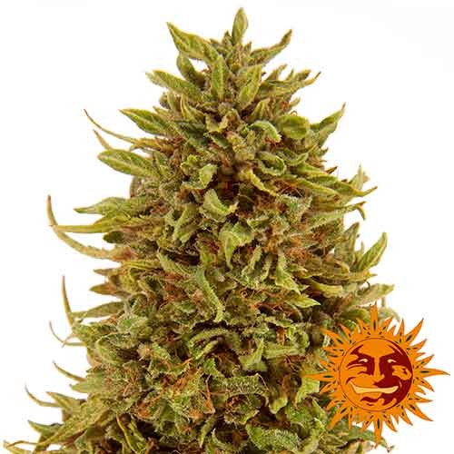 PINEAPPLE EXPRESS AUTO - Barney's Farm - Seed Banks