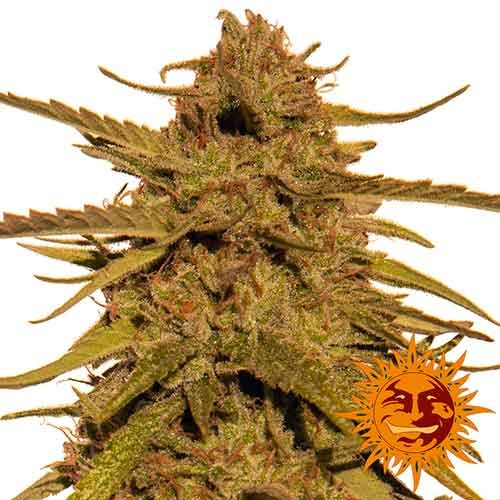 PINEAPPLE HAZE REGULAR - 10 seeds - Barney's Farm - Seed Banks