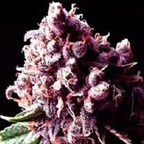 Purple Pinecone - 5 seeds - Sagarmatha - Seed Banks