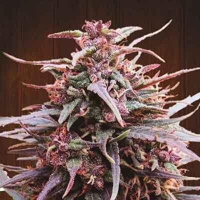 Purple Haze x Malawi  - Ace Seeds - Seed Banks