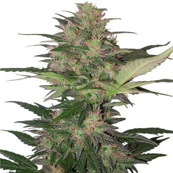Red Dwarf Auto - Buddha Seeds - Seed Banks