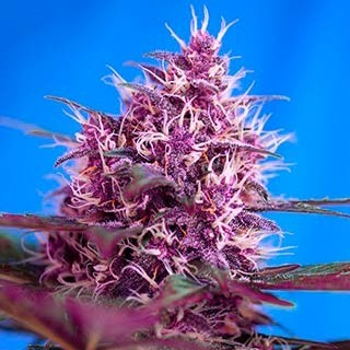RED POISON AUTO - Sweet Seeds - Seed Banks