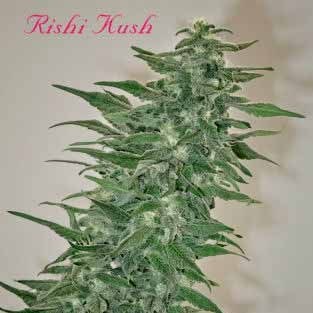 RISHI KUSH - REGULAR - 10 SEEDS - Mandala Seeds - Seed Banks