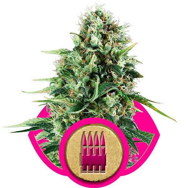 Royal AK - Royal Queen Seeds - Seed Banks