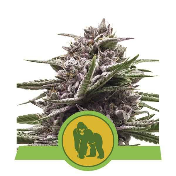 Royal Gorilla Automatic - Royal Queen Seeds - Seed Banks
