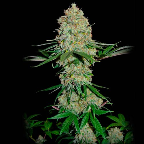 Silver Buddha Haze - 3 seeds - Sumo Seeds - Seed Banks