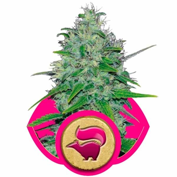 SKUNK XL - Royal Queen Seeds - Seed Banks