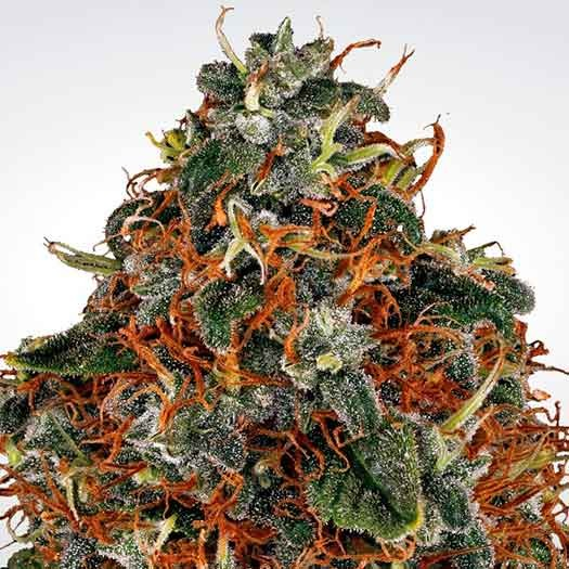 Space Cookies - Paradise Seeds - Seed Banks