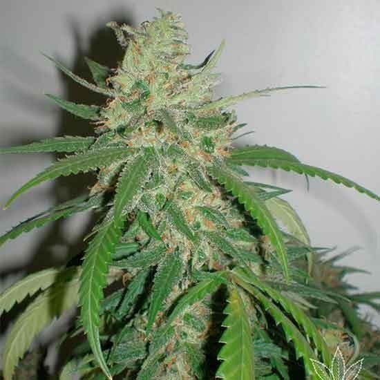 Spr Haze - 5 seeds - Fantaseeds - Seed Banks