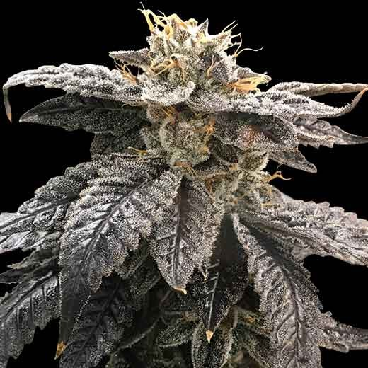 Star OX  - 12 Seeds - Rare Dankness - Seed Banks