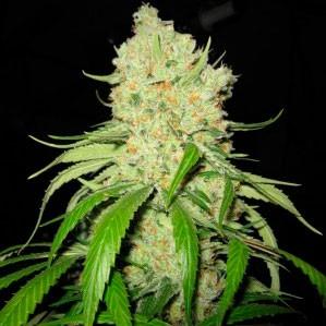 Strawberry Fields  - 5 seeds - Sagarmatha - Seed Banks